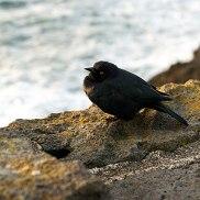 Final-Black-Bird-DSC03914