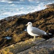 Final-Sea-Gull-DSC03909
