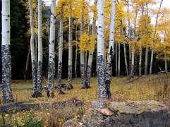 Aspen Trees in Fall