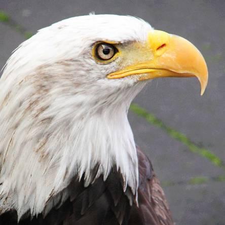 Final-Bald Eagle