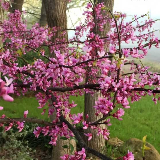 Final-Redbud-Tree